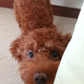Meet Chewie (Toy Poodle, 6 months old)