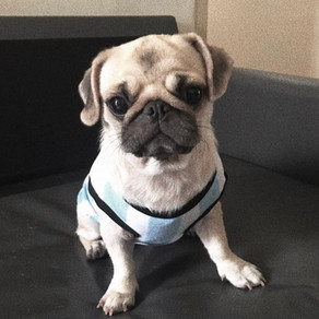 Meet Charlotte (Pug, 2 years old)