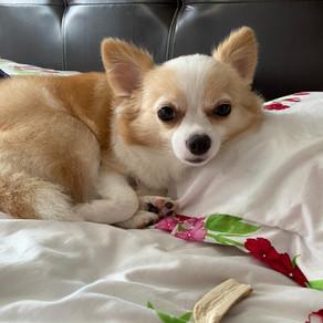 Meet Angel (Chihuahua, 1 Year Old)
