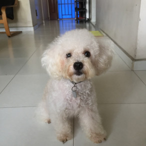 Meet Pong Pong (Maltipoo, 4 years old)