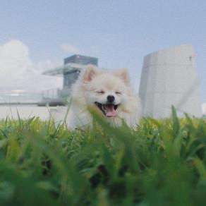 Meet Cloudy (Pomeranian, 1 year old)
