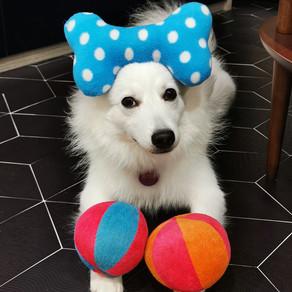 Meet Mochi (Japanese Spitz, 10 months old)