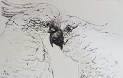 Cockatoos 3