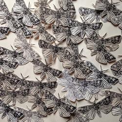 Moth Migration Project Bogong Moths
