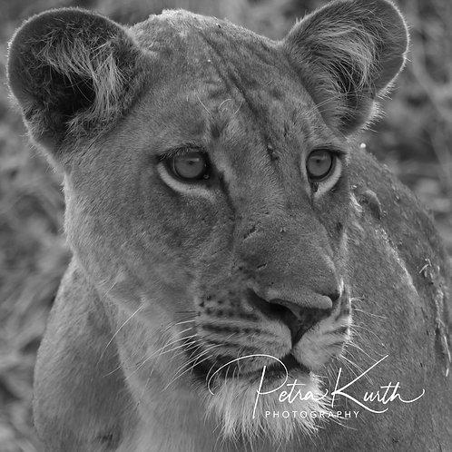 Löwin im South Luangwa Tal