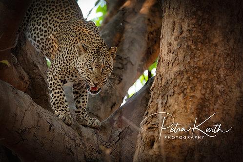Leopard auf´m Sprung