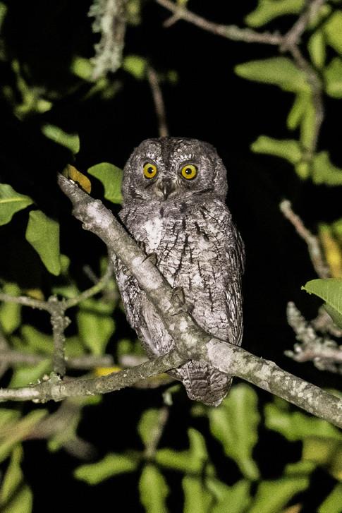 Scops Owlette