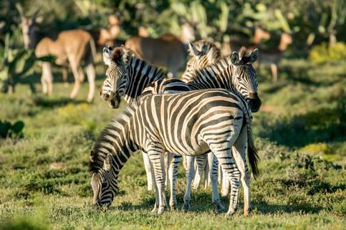 Zebra of Bucklands