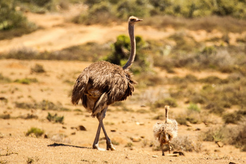 Ostrich Mom and Chick