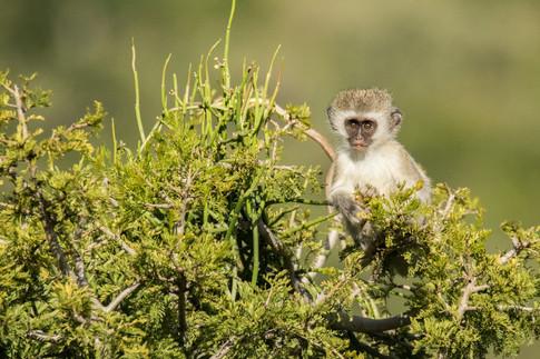 Vervit Monkey