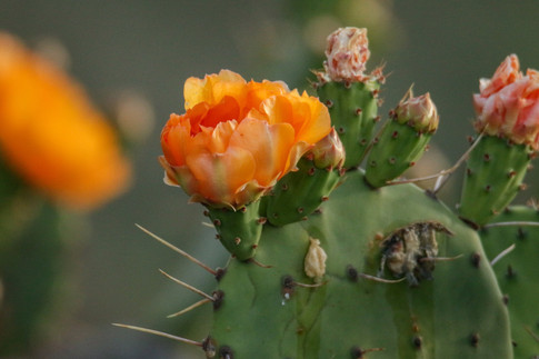 Prickly Pear Flower and Fruit