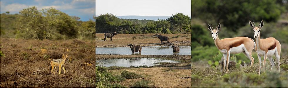 Black-backed Jackal, Buffalo bulls, Springbuck