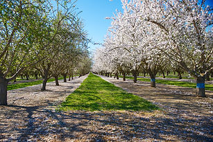 Almond orchard in full bloom.jpg
