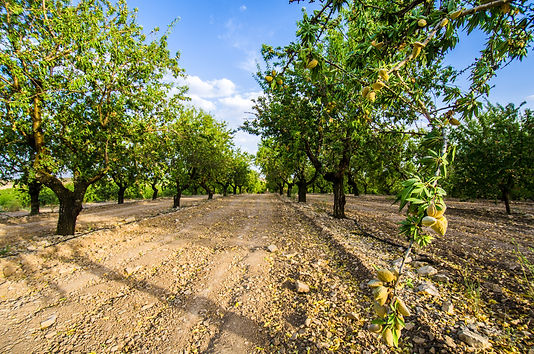 Long alley of almond trees in orchard li