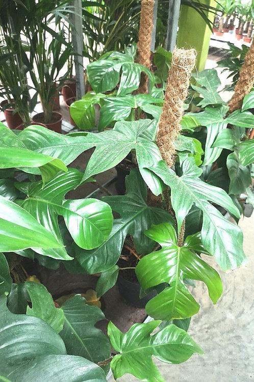 Magnifique Philodendron