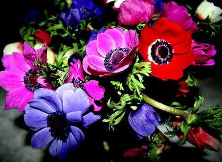 Notre Fleur du mois : La Belle Anémone