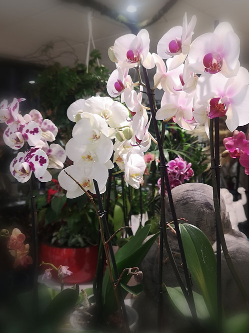 Orchidée Phalaenopsis 2 tiges