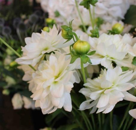 Notre Fleur du mois : le Dahlia