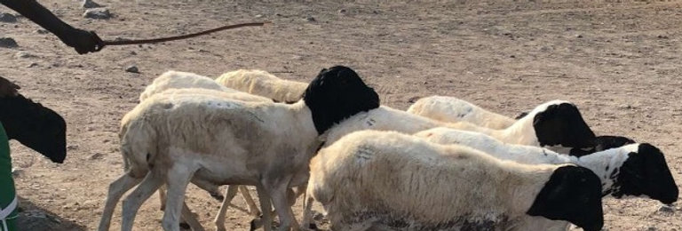 Sacrifice de mouton