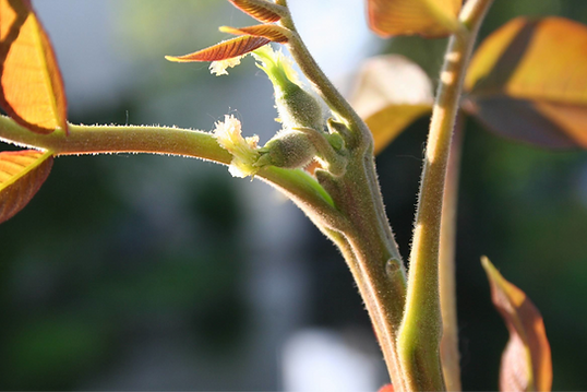 Walnut Bach Flower.png
