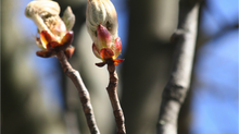 Chestnut Bud: January Bach Flower