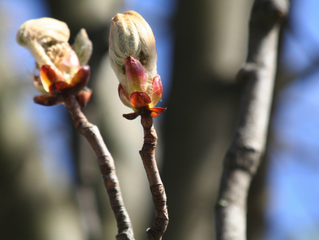 Chestnut Bud: January Bach Flower