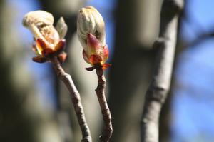 Walnut Bach Flower