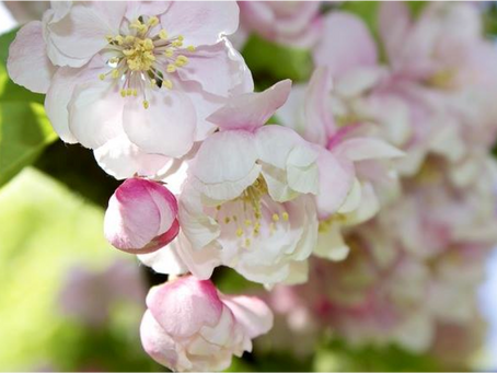 Crab Apple: May Bach Flower