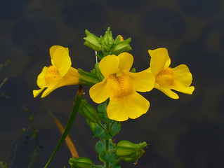 Mimulus: June Bach Flower