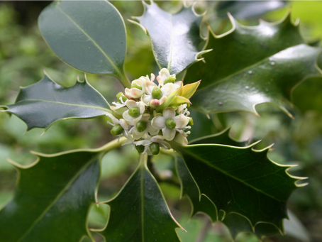 Holly: December Bach Flower