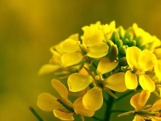 Walnut: September Bach Flower