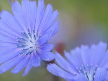 Chicory – Achicoria