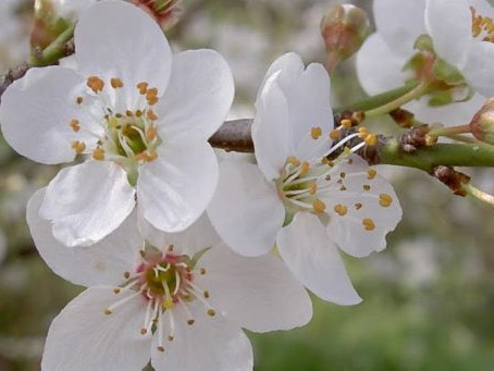 Cherry Plum – Cerasifera
