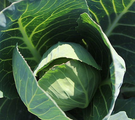 Mountain Cabbage 1pc
