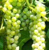 Grapes 300g