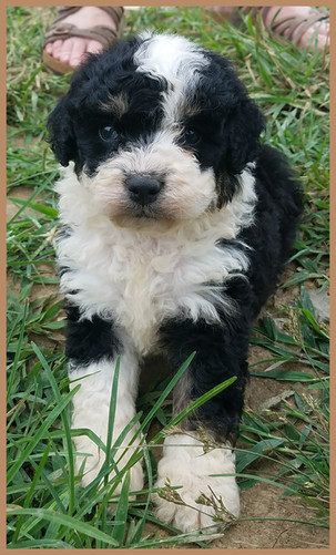 Mini Bernedoodle Puppies For Sale Hurricane Creek Doodles