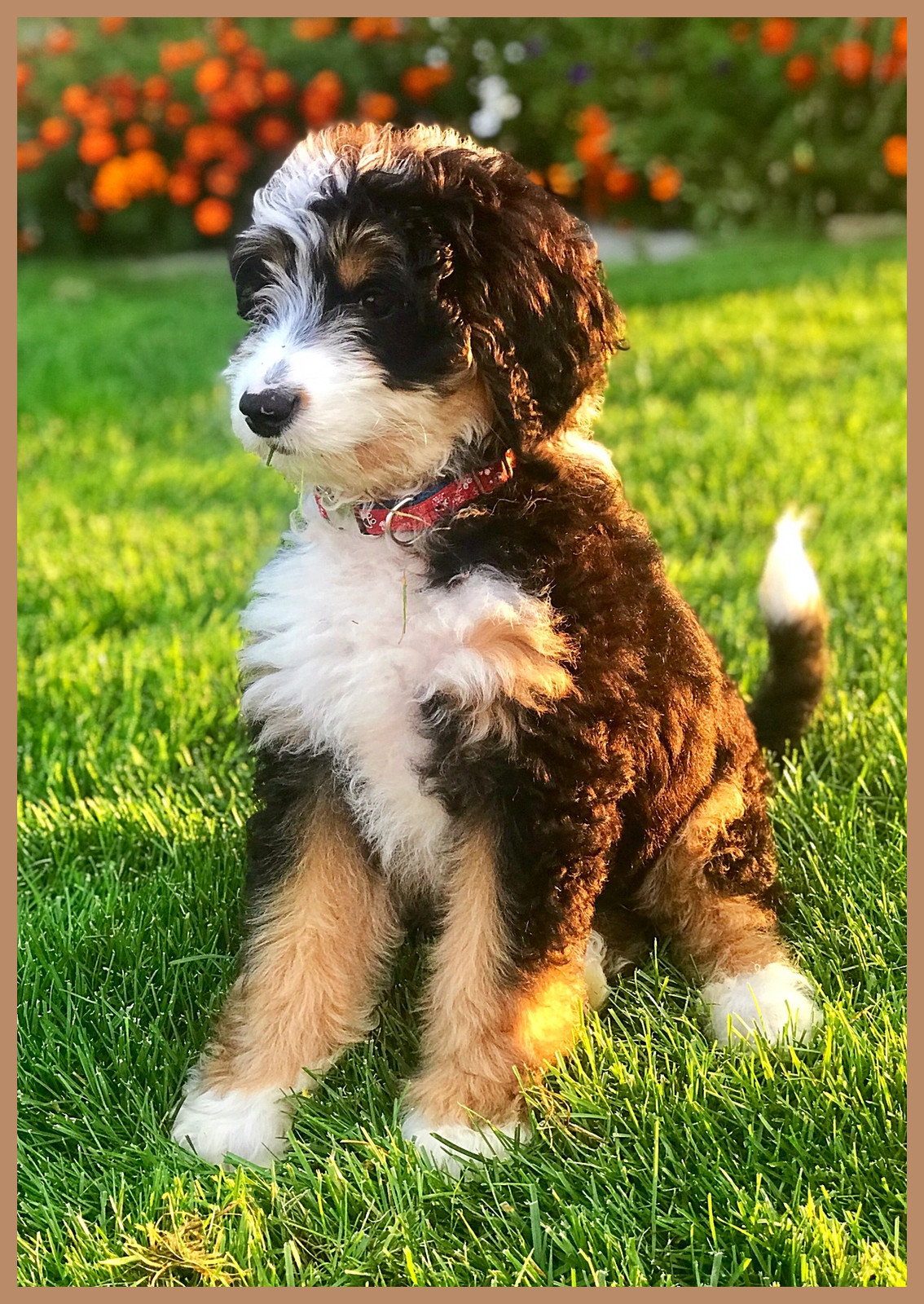Bernedoodle Puppies For Sale Hurricane Creek Doodles