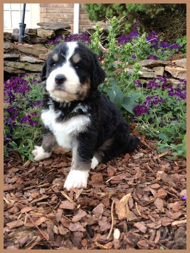 Bernedoodle Puppies For Sale | Hurricane Creek Doodles
