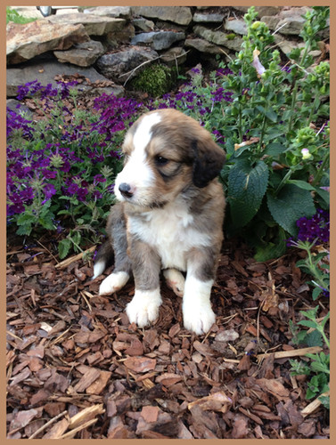 Bernedoodle Puppies For Sale | Hurricane Creek Doodles