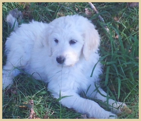 Goldendoodle Puppies For Sale | Hurricane Creek Doodles