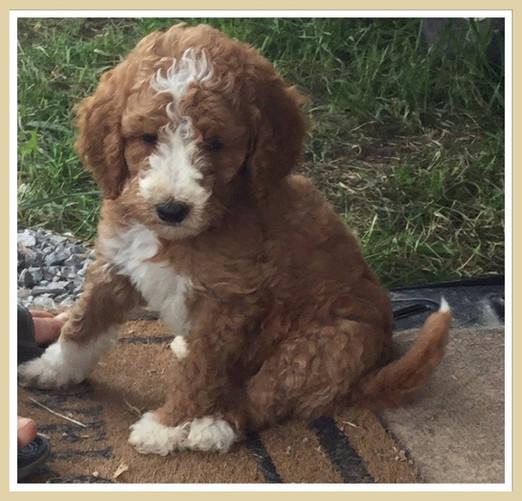 Goldendoodle Puppies For Sale   Hurricane Creek Doodles