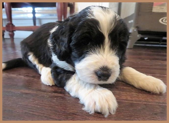 Bernedoodle Puppies For Sale Hurricane Creek Doodles