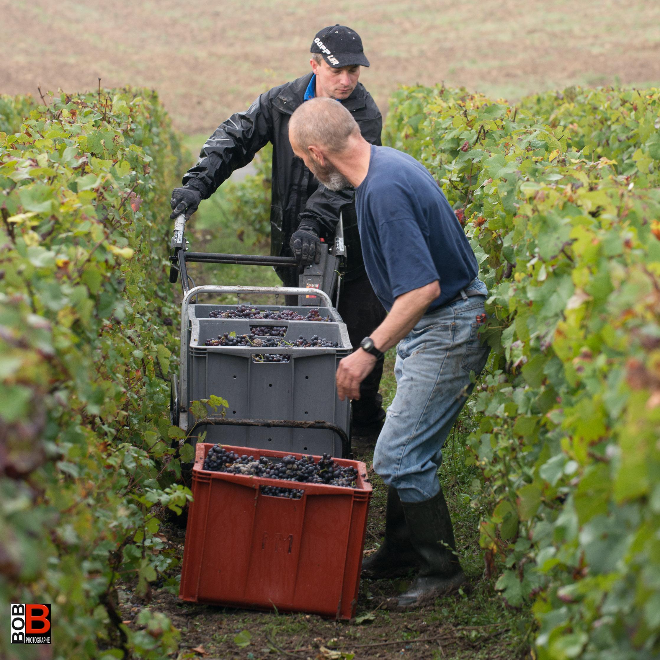 Débardage dans la vigne