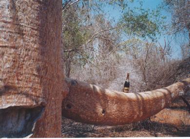 Sur un baobab à Madagascar
