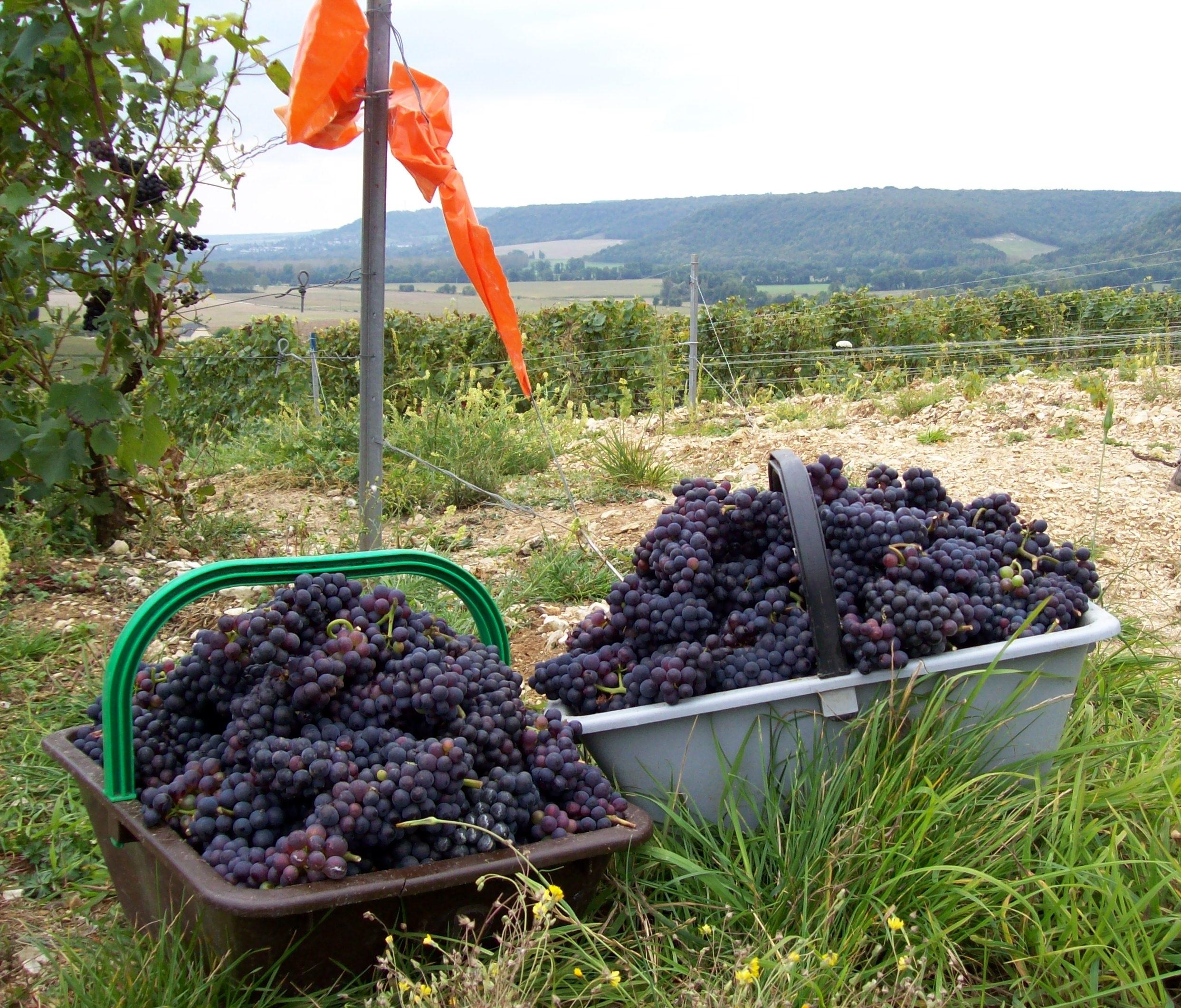 Des raisins cueillis à la main