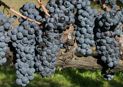 Black grapes from local farm