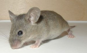 Rodent Mice Rat Control Leawood