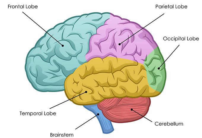 diagram-of-the-brain-human-brain-diagram