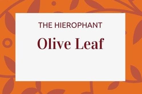 Olive Leaf - Olea europaea