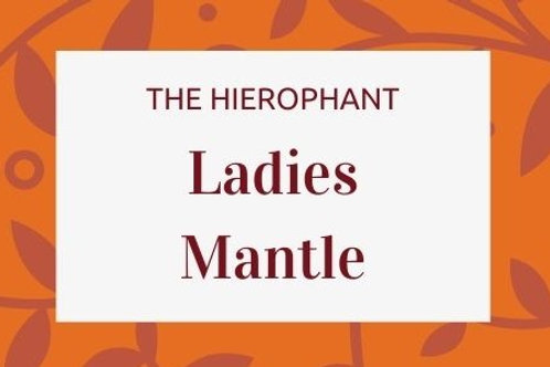 Ladies Mantle - Alchemilla mollis